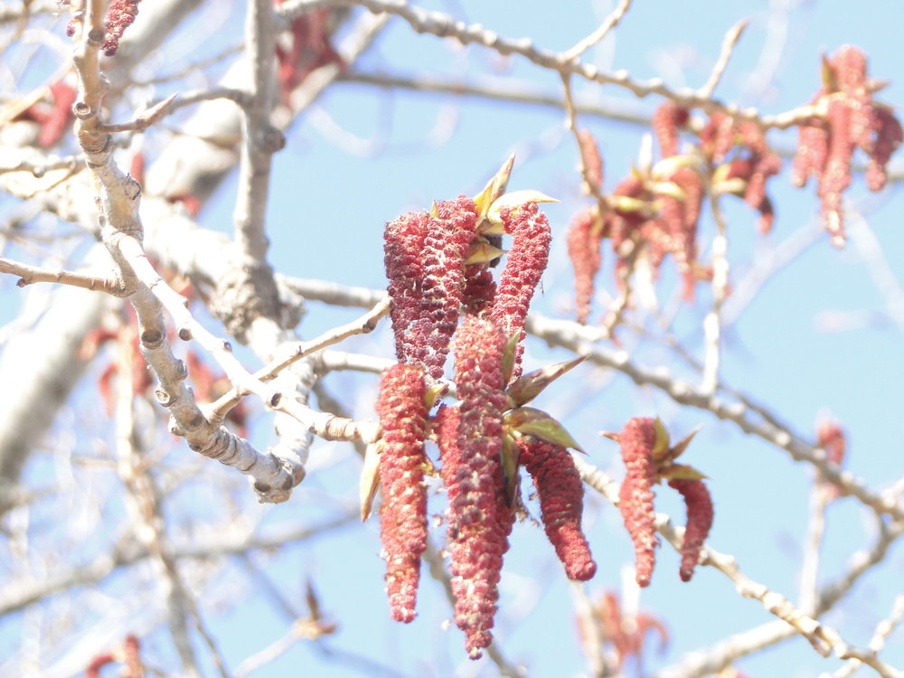 The catkin of a Cottonwood, though this is what they look like on the Poplars and Quaking Aspens as well. Photo from Austinbotany.wordpress.com