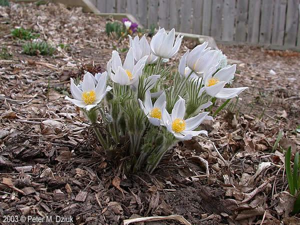 pulsatilla-nuttalliana late spring.jpg