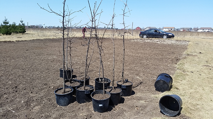 The straighter Bur Oaks get either potted for later use, or balled and burlapped, after which they can be planted at any time. Paul, an employee, is digging holes in the background where the smaller and straighter ones will be transplanted.