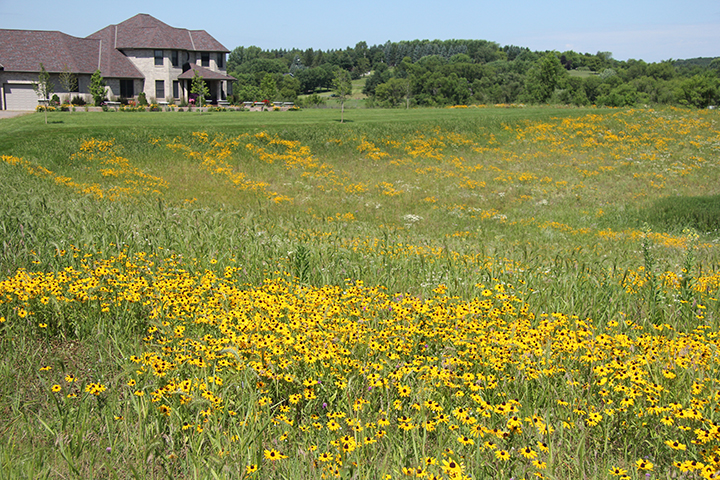 This homeowner used to mow this, and three other equally large areas, totally over four acres of mowing. She hired us to put it in prairie and now,instead of spending half of her Saturday mowing, she now enjoys the wildflowers of her prairie.