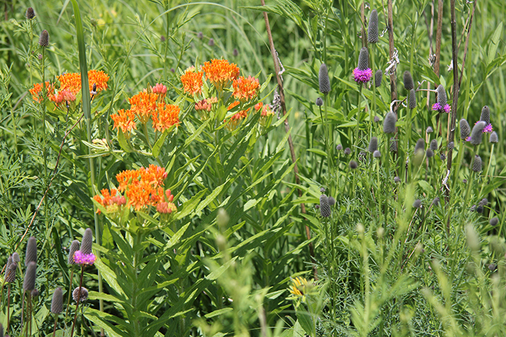 Perhaps the most dramatic early summer wildflower is the Butterfly Milkweed. It's one of the very few orange native wildflowers and of course is a great pollinator. With it you see the Purple Prairie Clover, another very nice early summer flower.
