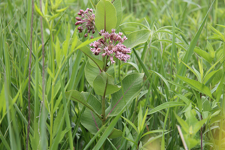 Common Milkweed is in the same family as Butterfly Milkweed, but they are quite different in appearance. The Swamp Milkweed's mauve color adds something to the mix.