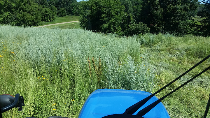 This is Wormwood. It has a lighter color and is in the Sage family. It has a nice smell but can be very invasive and hard to get rid of.I took this photo from the cab of my tractor as I was mowing it with a flail mower. There were a couple areas that were covered with it on this project. It's very fibrous and hard to cut with a bean hook, so for the sake of efficiency, these would be areas to mow.