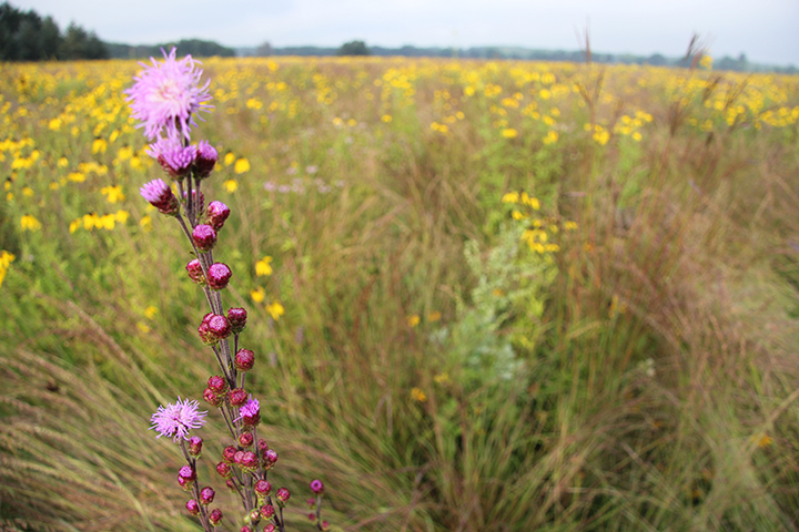 Who could argue with the brilliance of color and the symmetry of the Meadow Blazing Star? Just as the Grey Headed Coneflowers begin to fade, the Meadow Blazing Star starts its bloom. Of course it stands out nicely from its yellow background.
