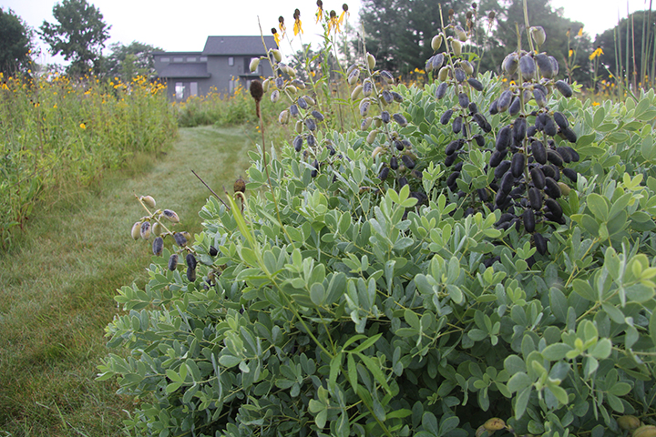It is hard to believe that such an exotic looking plant as the While Wild Indigo is native to our midwestern and Central Minnesotan prairies. Notice its seed pods darkening above it.