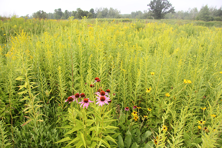 The beginning of the flowering of the Goldenrod (behind the Purple Coneflower shown here) marks for me the turning point of the prairie and the seasons. Plants are mellowing, focusing less on growth and more on seed dispersal.