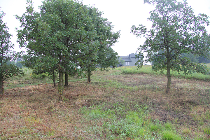 A photo and a side note: we have never done justice to this small cluster of seven Bur Oaks. I mowed and sprayed this area to begin preparing it for a reseeding of Oak Savannah grasses and wildflowers.