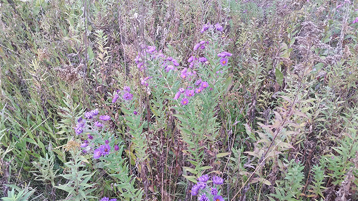 The Asters, native wildflowers, are perhaps the coolest of the cool season natives. They are the last of the wildflowers to bloom, and do so in September and October. Without them, the prairies would go dormant and lose their color somewhat earlier, perhaps ending on a Goldenrod note.
