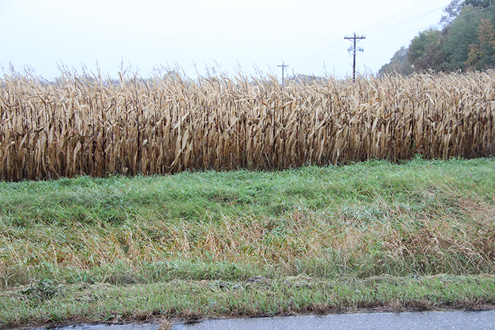 There's the dreaded Reed Canary grass again, still green on the roadside, whereas the corn, perhaps the quintessential warm season plant (originated the the warm climate of Central America), has been dormant for some time now.