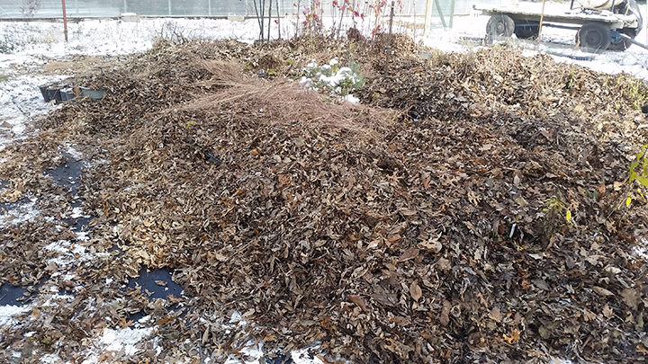 We covered the flats with leaves we had raked and brought back from one of our woodland seeding projects.