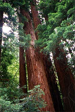 muirwoods1.jpg