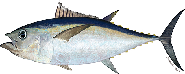Tuna, Bigeye