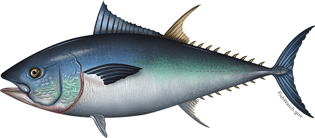 Tuna, Bluefin