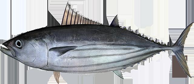 Tuna, Skipjack