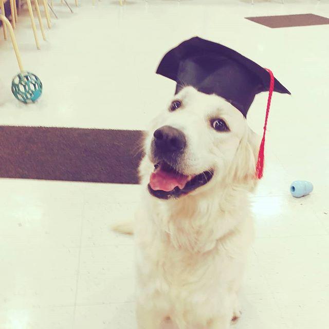 Happy Graduation Bear! #readyformynextadventure #dogtraining #petsmarttraining . . . . . . #petsmartalicia #goldenretriever #gorgeousgoldens #gloriousgoldens #longmontdogs #longmontcolorado buzzfeedanimals #tot #furbabies #furkids #furbaby #dogmom #furbabies