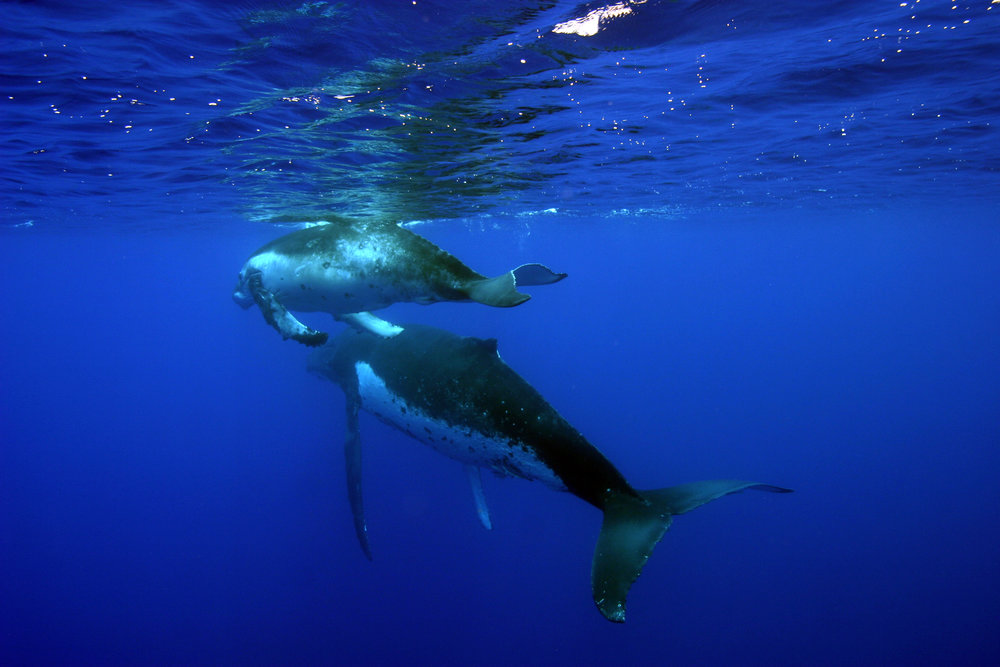 Humpback Whales 2 - National Marine Sanctuary of American Samoa.jpg