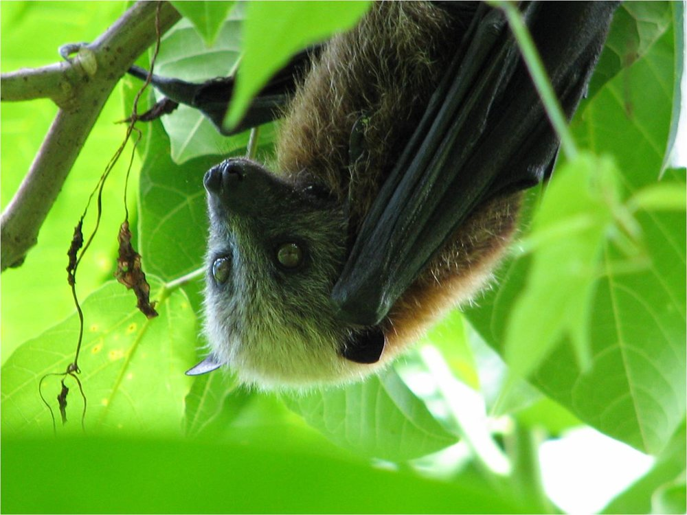 Samoan Fruit Bat 1 - National Park Service of American Samoa.jpg