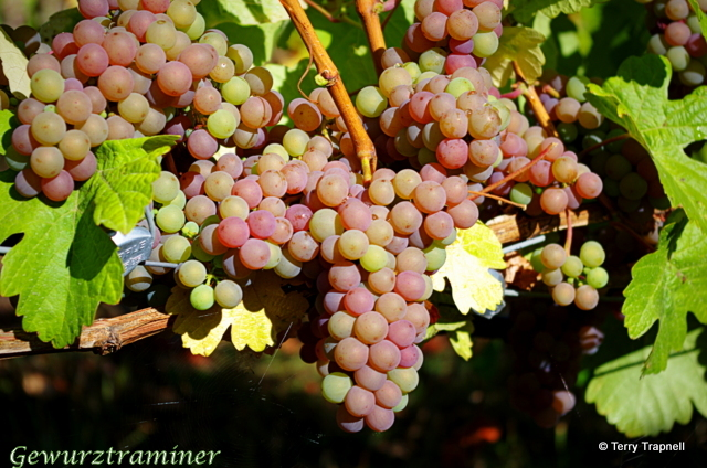 Averill Creek Vineyard Gewurztraminer
