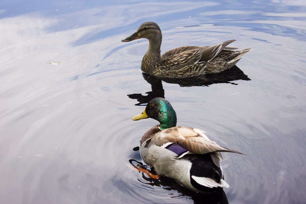 ducks(web).png