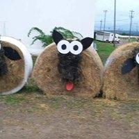 Hay Sheep.jpg