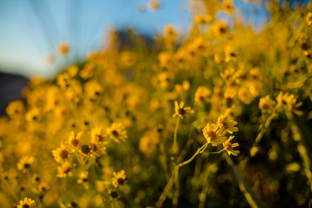 Bunches of yellow wildflowers in Little Blair Valley, San Diego County, CA.