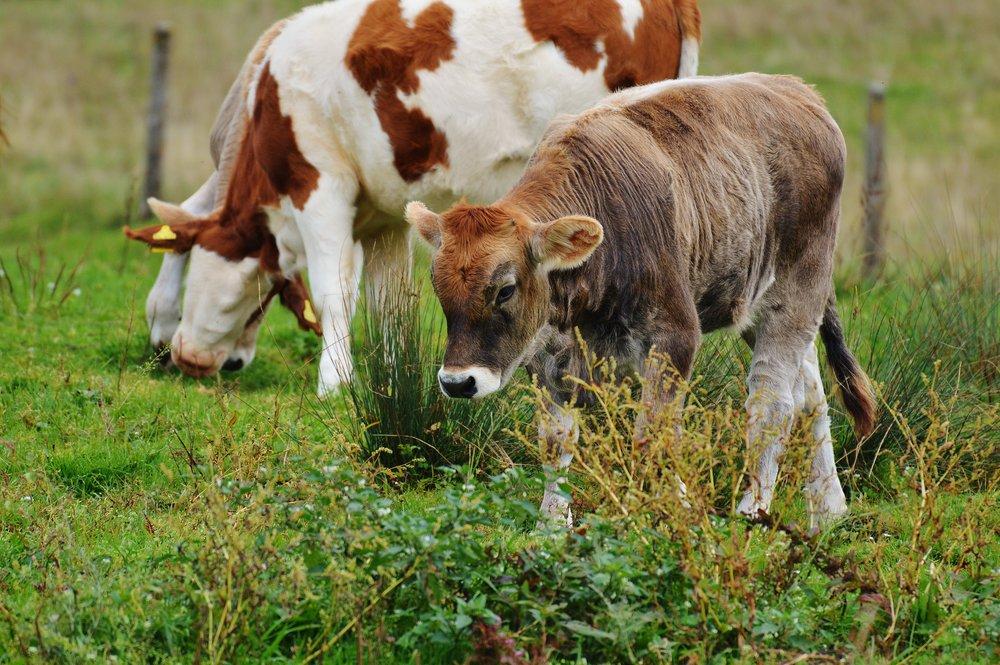cows-982241.jpg