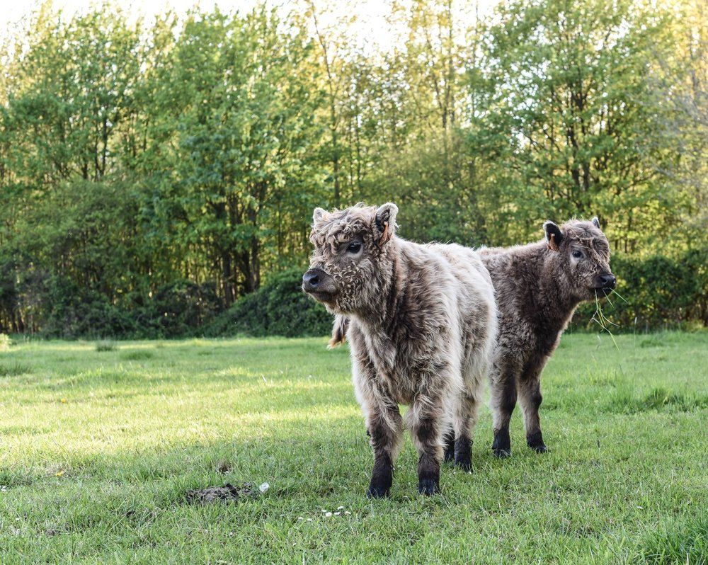 cow-1373996.jpg