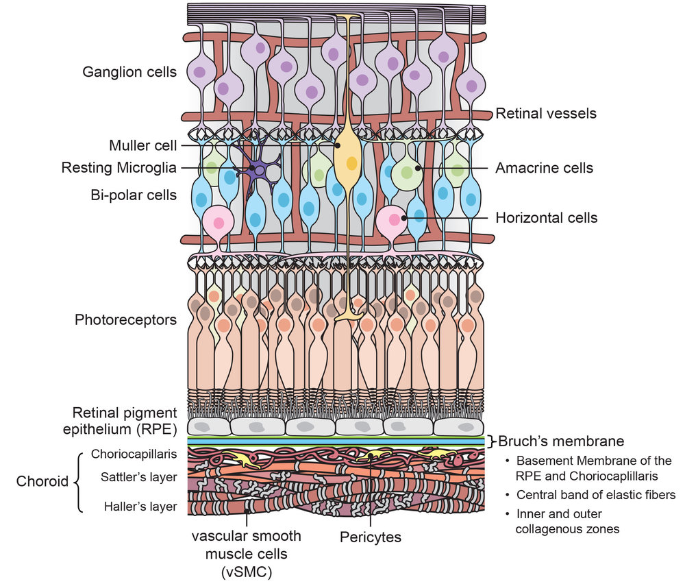 Tissue structure of the retina
