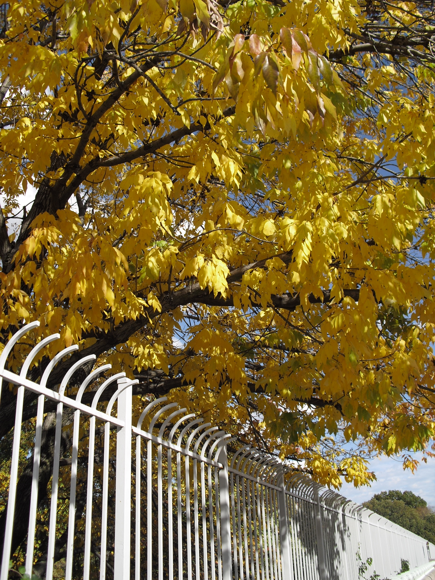 Picture of Yellow Leaves on a Tree