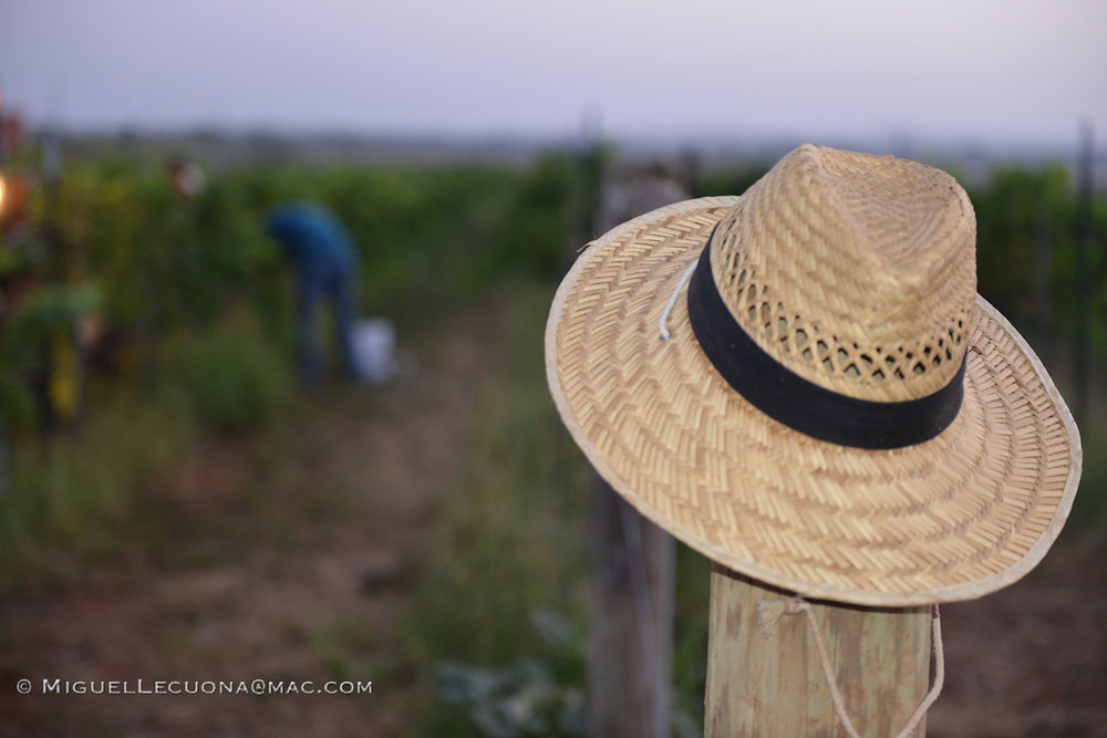 Hilmy Hat in Vineyard.jpg