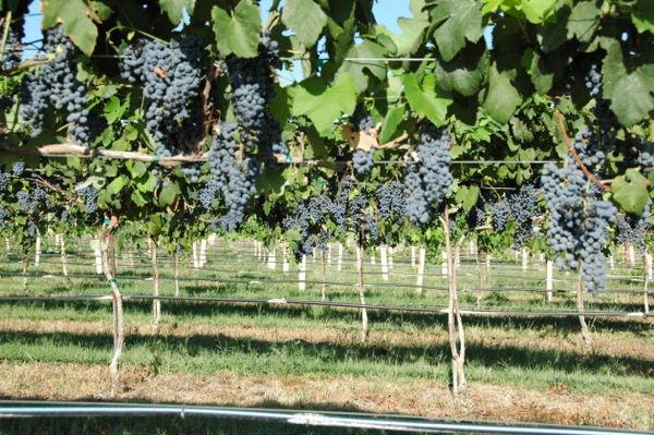torre10_daytime_grapes_600.jpg