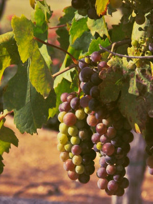torre5_grapes_300.jpg