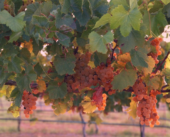 torre9_sunset_grapes_585.jpg