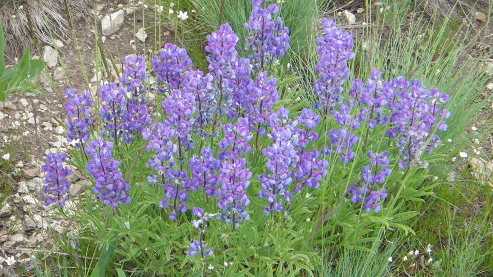 mountain blue bells.jpg