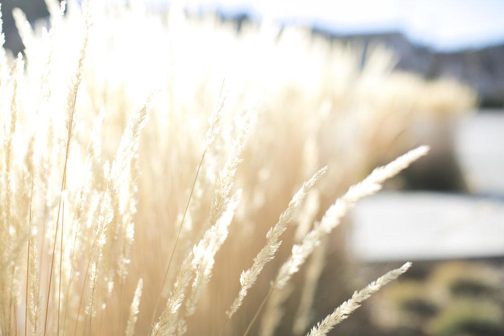 Black Hills grass