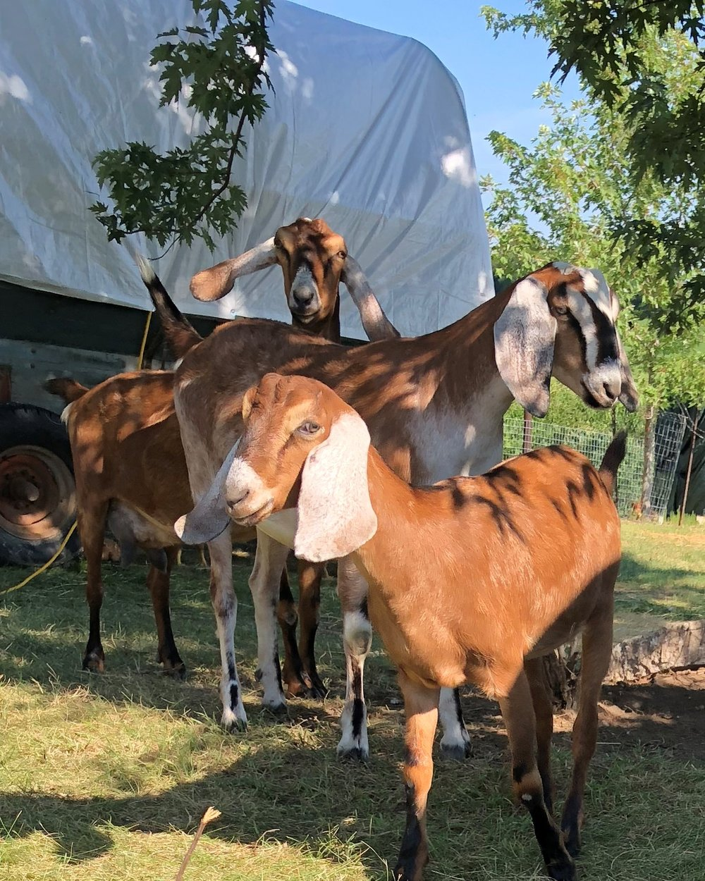 6 goats.jpg