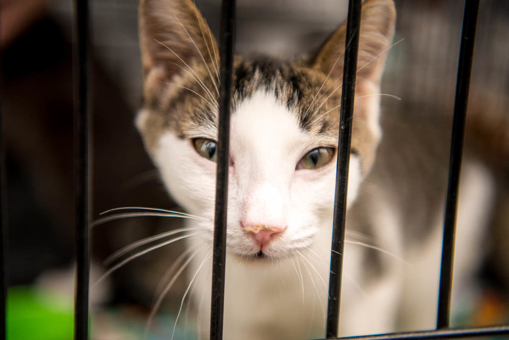 An adoptable cat named Darling during Meowmania on Saturday, July 21, 2018.