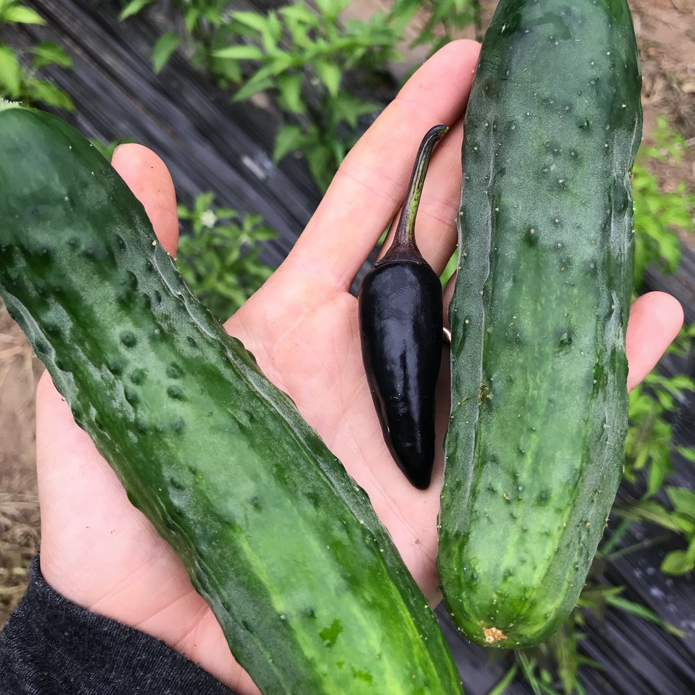Cucumbers and black jalapeños! Summer is happening!