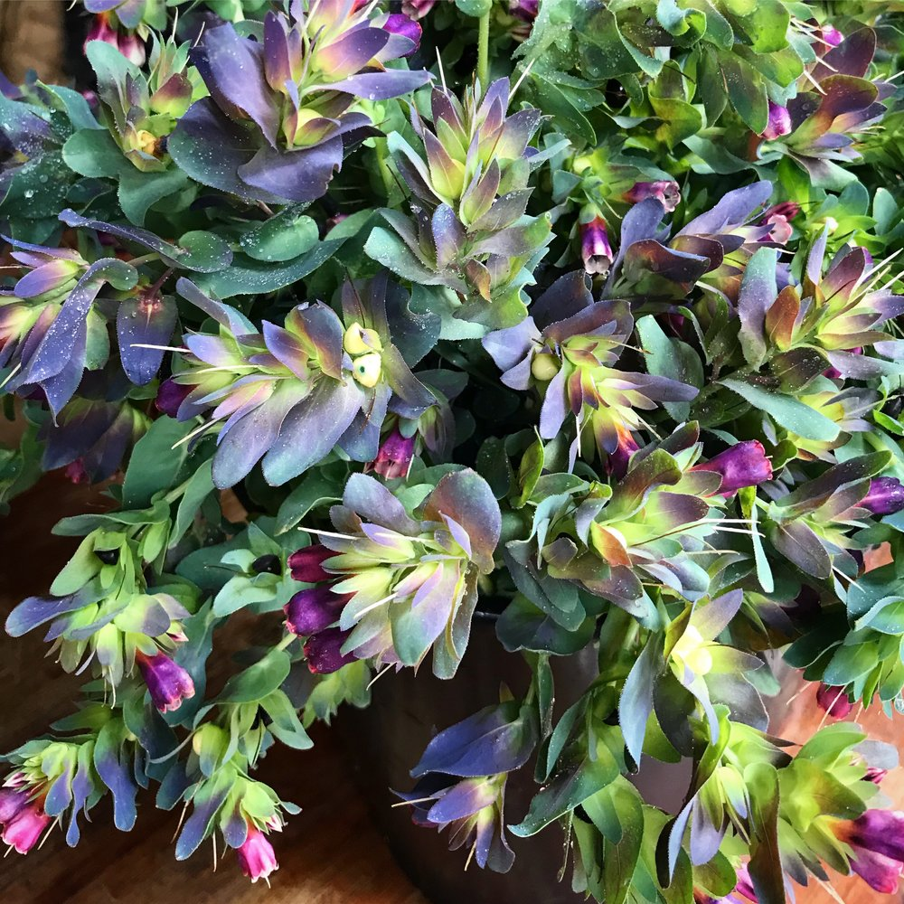 Cerinthe: Kiwi Blue.....a magical mermaid dream flower