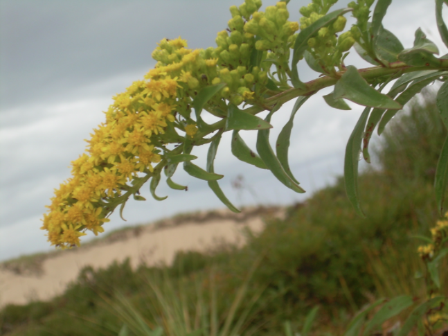 Example of Native Golden Rod, flowering