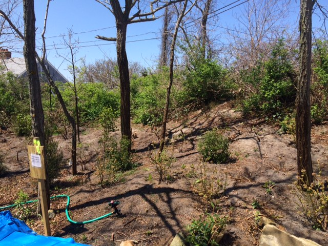 Mitigation area and invasive vegetation removed and replaced with native vegetation.