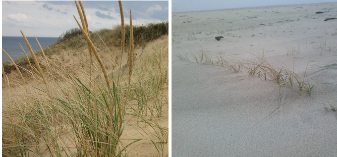AMERICAN BEACH GRASS    Ammophila breviligulata