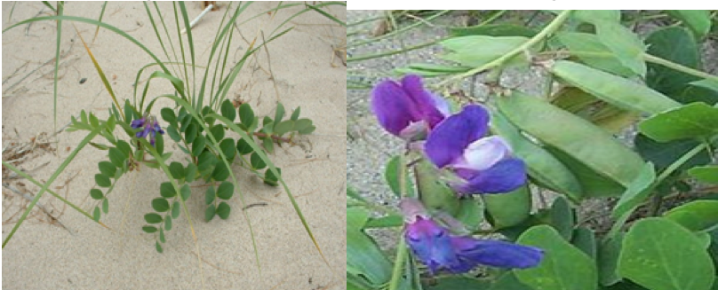 Beach Pea    Lathyrus japonicus