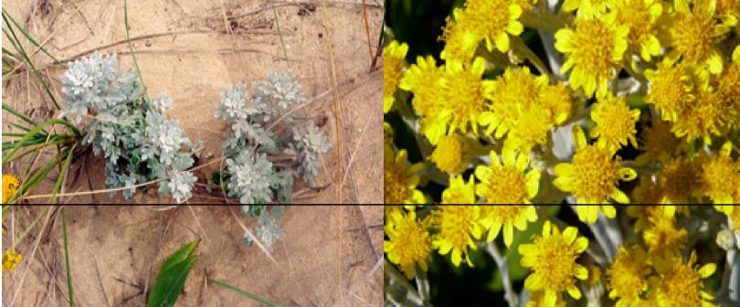 Dusty Miller    Artemisia stellariana
