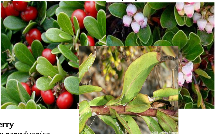 Bearberry or Hog Cranberry    Arctostaphylos uva-ursi