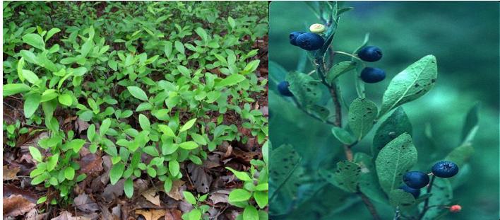 Lowbush Blueberry    Vaccinium angustifolium