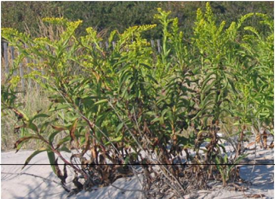 Narrow Leaf Goldenrod     Euthamia   graminifolia