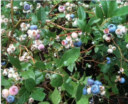 Highbush Blueberry:    Vaccinium corymbosum