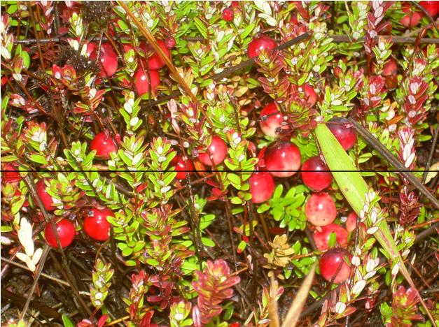 Cranberry:    Vaccinium macrocarpon