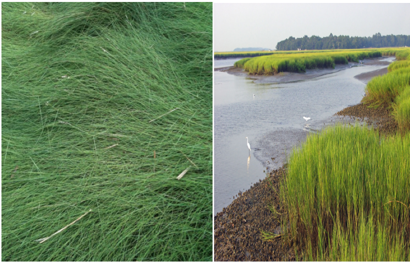 Salt Meadow Hay:                                 Salt Marsh Cord Grass:    Spartina patens                             Spartina alternaflora